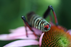 Locust (AngelaBax) Tags: insect with daisy locust gettyimage buzznbugz themacrogroup canoneos5dmkll angbax