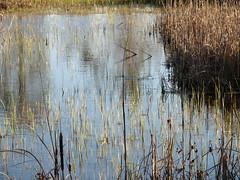 IMG_3917 (rabbit-rose) Tags: ducks migration snowgeese sacramentowildliferefuge