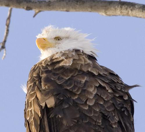 bald eagle_2