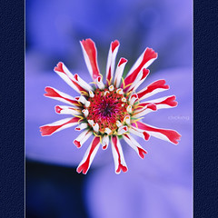 Explosive (-clicking-) Tags: lighting flowers red macro nature beautiful closeup petals nice purple natural centre center pistil daisy lovely explosive colorphotoaward artofimages bestcapturesaoi bestofvietbestphoto mygearandmepremium mygearandmebronze mygearandmesilver mygearandmegold