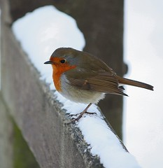 Another Robin (Chrissie28IWish! ~ hubby passed away 5th Dec peace) Tags: friends red snow bird robin fence breast ornith