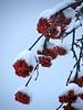 "Bacche e neve. ("" paolo ammannati "") Tags: flowers italy italia natura cielo tuscany neve fiori toscana inverno viaggi casentino ghiaccio effettinaturali fotoconneve"
