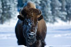 Bison 1 (Nate Groshan) Tags: winter snow nature face yellowstonenationalpark yellowstone bison ynp 2010