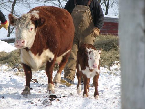 Calves - 1-10 055
