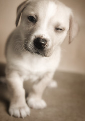portrait dog pet animal yellow puppy mutt dof blonde shallow wink