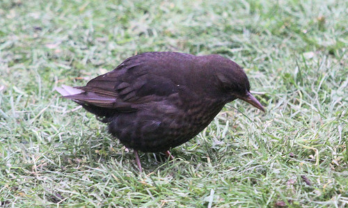 Tailless Blackbird