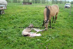 lzmanggeb(126) (Lothar Lenz) Tags: horse caballo cheval cavalo pferd hest equus paard geburt hst fohlen hestur stute konj hobu zirgs mangalargamarchador gangpferd fohlenbeifuss fotopferdefotoarchivdefeige gangpferdezuchtlimbacherhof fohlenfelicidadevonlimbach