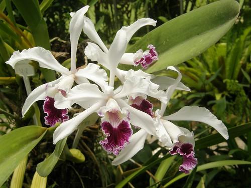 orquidea 7