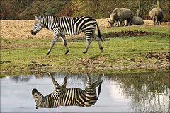 Zebra in reflection (Foto Martien) Tags: africa holland netherlands dutch tanzania zoo sudan arnhem nederland rwanda safari burgers afrika congo uganda kenia zambia veluwe somalia burgerszoo safaripark wetland dierentuin gelderland eastafrica dierenpark grantzebra grantszebra equusburchelli plainszebra burchellszebra commonzebra a350 equusquagga equusquaggaboehmi specanimal abigfave burgersdierenpark openwoodland equusburchelliboehmi bhmzebra southethiopia steppezebra sonyalpha350 sigmaapo70300macro gewonezebra burgerssafari martienuiterweerd martienarnhem treelessgrassland martienholland