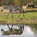 Zebra in reflection