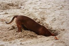 cavando (Maira Prado) Tags: co olhos cachorro buraco pelo enterrado focinho cavar cavando enterrar