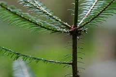 Young Grand Fir Up Close at Pacific Spirit Park BC 29Jan2010 (frosty_white_raven) Tags: wood plant canada tree ecology vancouver forest woodland flora bc bokeh timber britishcolumbia 300mm evergreen vegetation fir ecosystem conifer silviculture pacificspiritpark wildland canoncamera forestmanagement universityendowmentlands grandfir canonef300mmf4lisusm abiesgrandis classpinopsida orderpinales cans2s familypinaceae canonrebelxsi forestscience genusabies