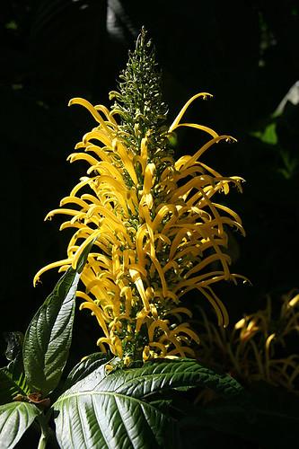 Justicia aurea - Shrimp plant
