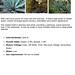 Pale-Leaf Yucca