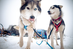 Dog Sledding in Prince George British Co by kk+, on Flickr