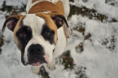 Pooch (kuyman) Tags: dog brown 3 snow cute fur nikon adorable ears beta adobe pooch mccomas d90 kuyler lighroom