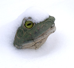 Close up of Weather Frog (FrogLuv) Tags: winter white snow green snowflakes frozen snowy michigan rana frosch grenouille kikker roseville detroitmichigan froghead macombcounty kurbaga weatherfrogs meteorfrogologists frogbum
