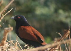 Crows Can Also be Beautiful (NotMicroButSoft (Fallen in Love with Ghizar, GB)) Tags: pakistan birds wildlife sindh biodiversity centropussinensis thatta halejilake avianfauna crowpheasant