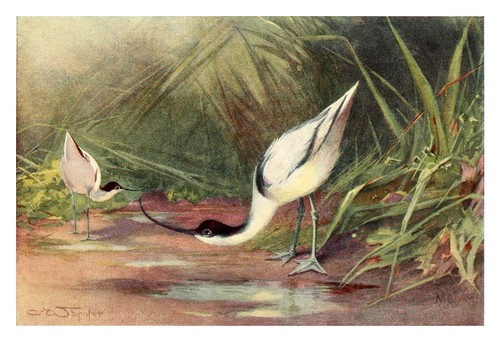 007-Avoceta común-Egyptian birds for the most part seen in the Nile Valley (1909)- Charles Whymper