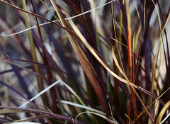 Colorful New Growth, Fountain Grass