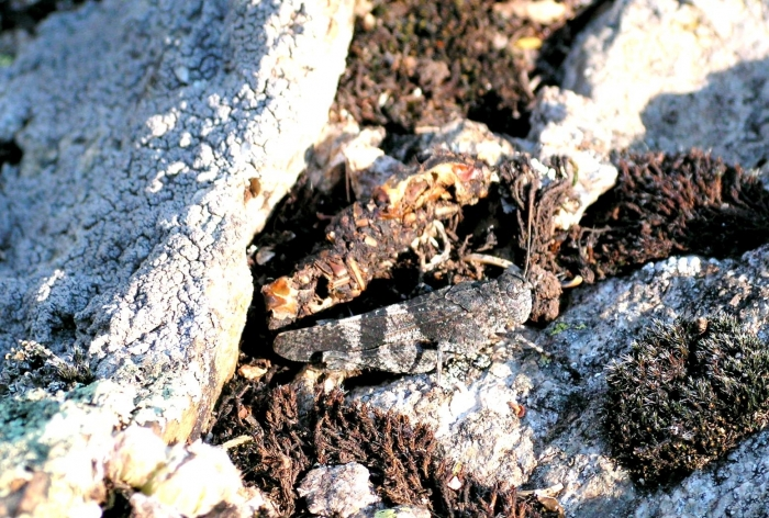 camouflaged-grasshopper