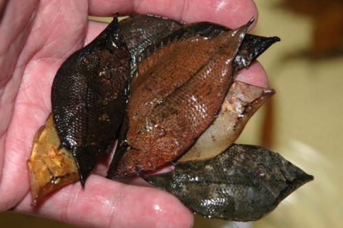 south-american-leaf-fish
