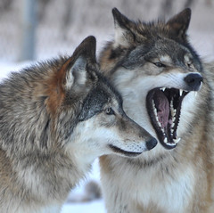 Nice Teeth (Eve'sNature) Tags: nature minnesota wildlife ely wolves mywinners updatecollection