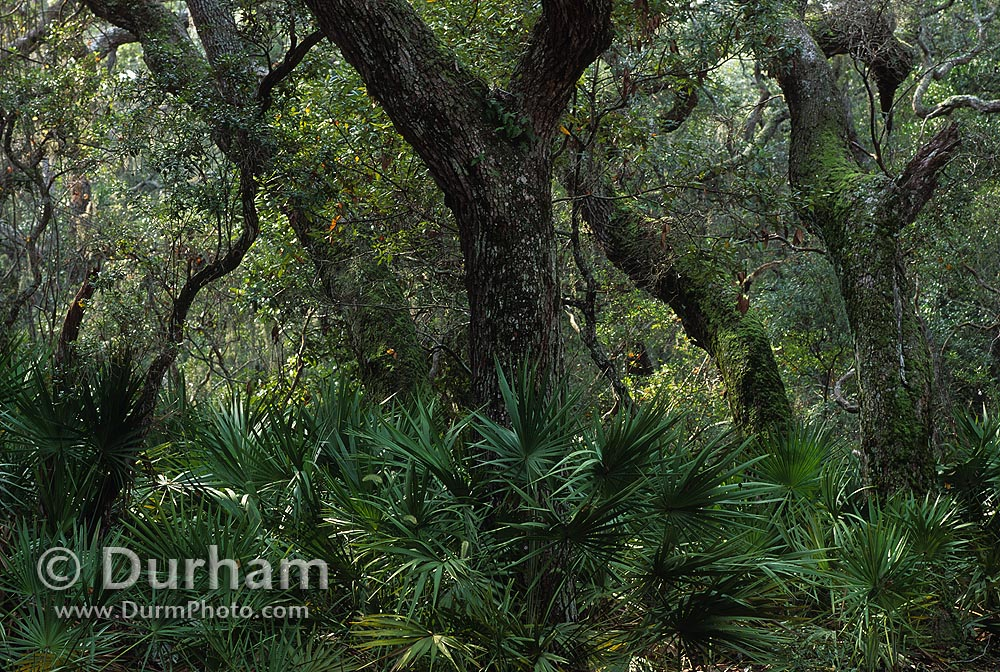 oak and palmetto forest