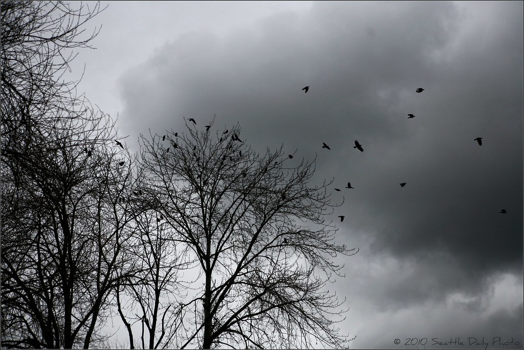 Skywatch Friday:  50 Crows
