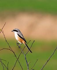 Shrike (NotMicroButSoft (Happy New Year 2014)) Tags: pakistan nature birds wildlife punjab biodiversit