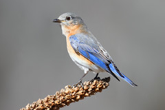 Female Eastern Bluebird (Steve Byland) Tags: bird nature canon 7d bluebird eastern sialis sialia newjerseyusa greatswampnwr avianexcellence
