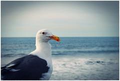 Gaviota (Srch) Tags: bird beach animal seagull ave pajaro gaviota imperialbeach naturesfinest nikond60