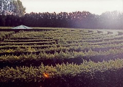 Green Hedge Maze, Rotorua, New Zealand, 1991