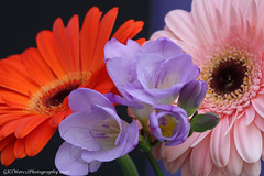 Fresia with Gerberas (chetty3) Tags: pink flowers orange canon petals lilac gerbera bouquet fresia coth sigma105mmf28 fantasticflower eos40d wonderfulworldofflowers awesomeblossoms