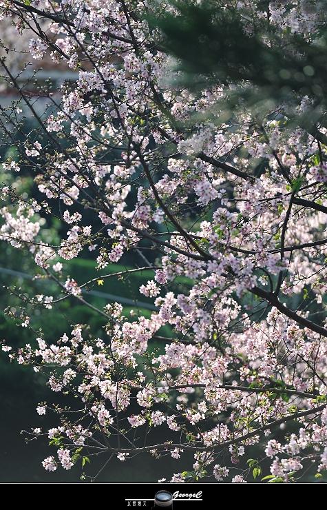 Sakura sunny 24