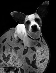 All ears (ARTeTT) Tags: portrait bw dog cane asia ears bn bone ritratto osso orecchie thelittledoglaughed