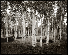 aspen grove (Intrepid Tripod) Tags: trees blackandwhite utah october quiet 8x10 1995 aspen aspengrove kodak2d 210mmlens ektapan scanofrcprint