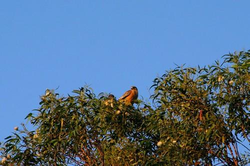 morning hawks
