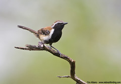 Rusty-backed Antwren - Formicivora rufa