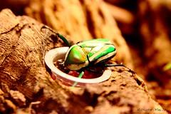 Toilet huggin (Tobradex) Tags: green bug eating toilet scarab insectarium tamronspaf2875mmf28xrdildasphericalif