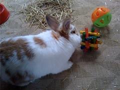 New Toys (LizzieViolet) Tags: rabbit bunny toys lucca bun bonding houserabbit housebunny rabbittoys netherlanddwarfrabbit indoorrabbit indoorbunny nethiex rabbitbonding