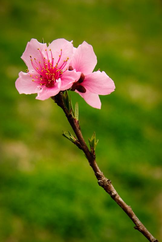 Day 168: Peach Blossom