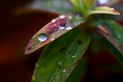 Rain Dropped (Bucky O'Hare) Tags: plant macro green art wet water leaves rain canon beads droplets leaf drops artistic drop 100mm tokina moist 50d