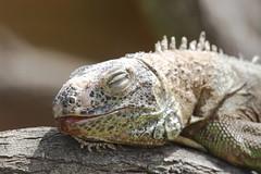 Green Iguana at Rancho Texas, Lanzarote (Ian Press Photography) Tags: green animal zoo texas lanzarote iguana rancho captivity