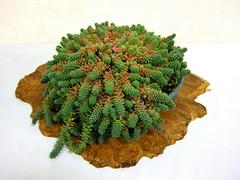 Sedum (Kelley Macdonald) Tags: bonsai sedum sanfranciscoflowerandgardenshow
