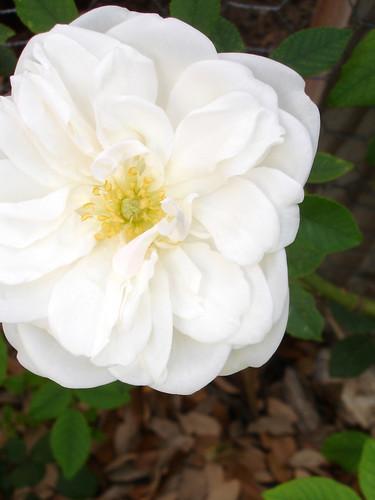 lamarque white climbing rose