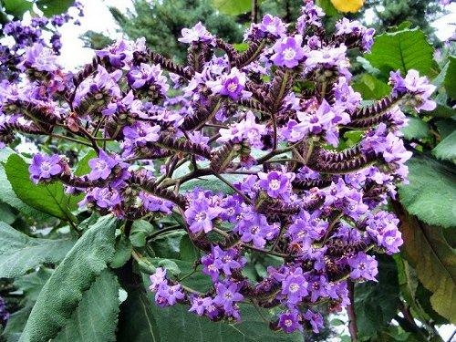20100412-rq-jardinsdolago-10-Wigandia caracasana