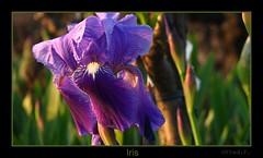 Iris sous le vent... (fredf34) Tags: flowers iris macro nature fleurs canon garden purple natur violet jardin powershot bleu vigne fredf powershots3is s3is canons3is canonpowershots3is powershots3 fleursdeschamps canon3is fleursdesjardins fredf34 fredfu34