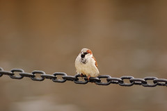 Tweet (Justin Smith - Photography) Tags: bird animal nikond50 sparrow justinsmith nikon180mmf28