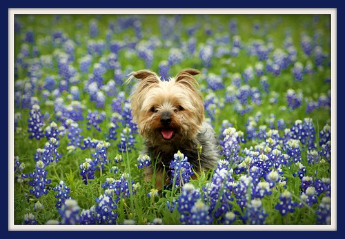 Harley in Bluebonnets